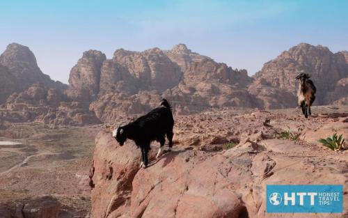 Petra Goats